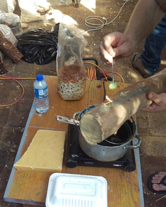 making shiitake logs