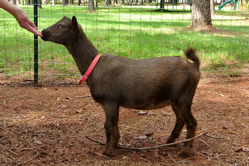 Nigerian Dwarf goat doe