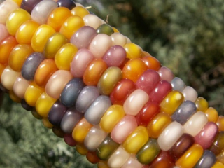 glass-corn-2-e1337100673579