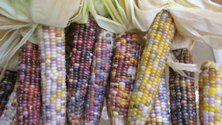 ht_seeds_trust_glass_gem_corn_ll_120515_wblog