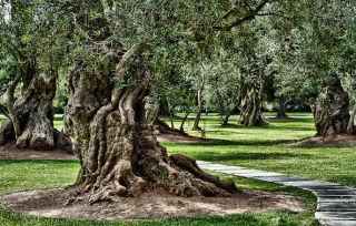 olivegrove-sanisidro
