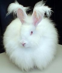 fluffy_white_bunny_rabbit