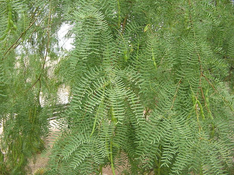 Prosopis glandulosa foliage