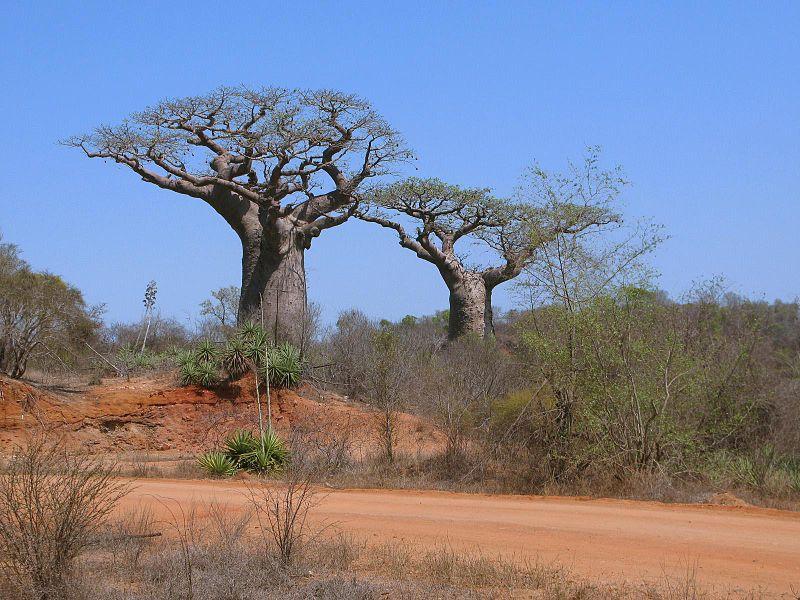 [Image: 800px-baobab_02.jpg]