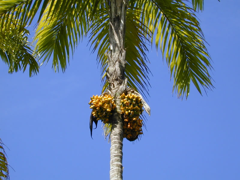 peach palm with fruit