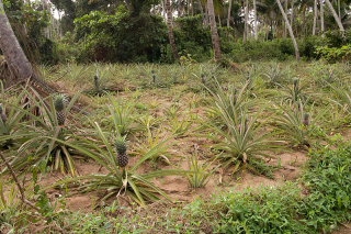 800px-pineapple_crops_zanzibar