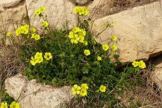 oxalis_pes-caprae_from_malta