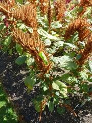 450px-amaranthus_hypochondriacus_amaranthaceae_plant