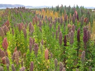 800px-chenopodium_quinoa_in_cachilaya_bolivia_lake_titicaca