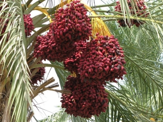 800px-date_palm