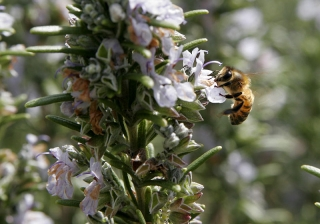bee_on_rosemary